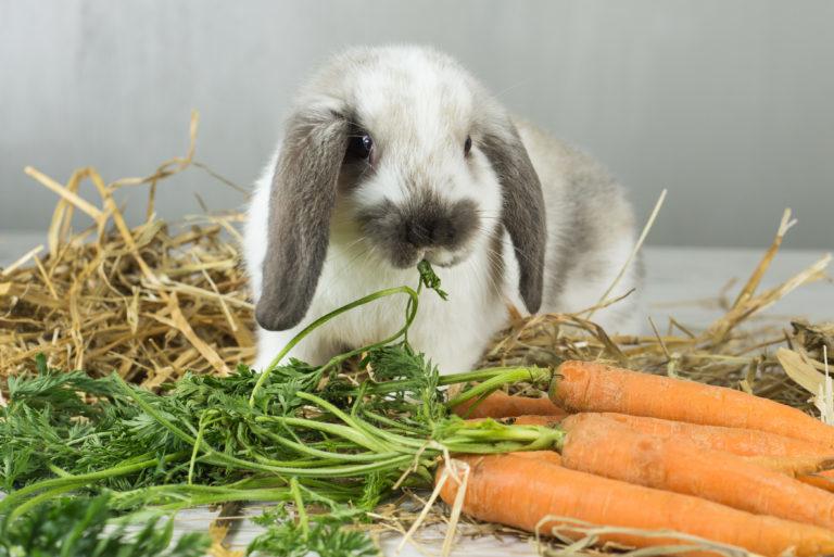 králik s mrkvou