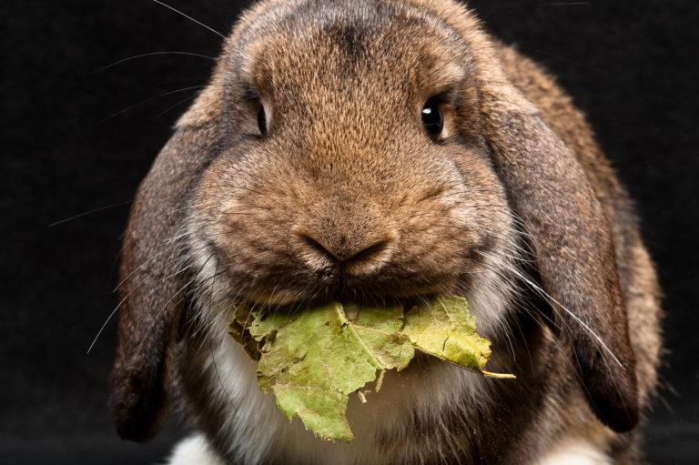 králik so šalátom