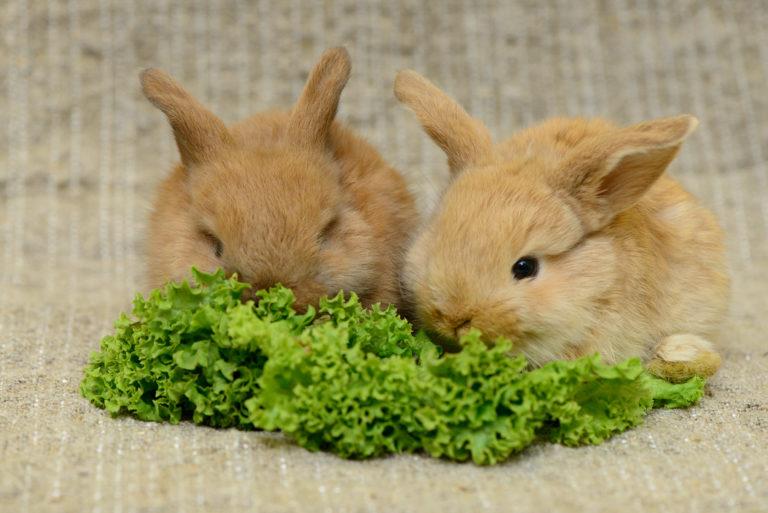 králiky so šalátom