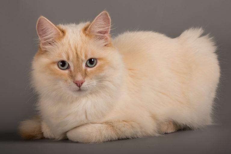 birma mačka