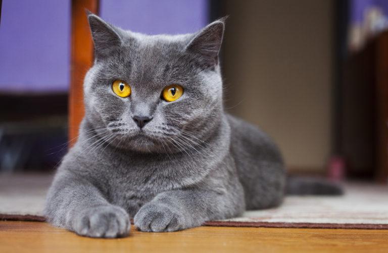 Britská krátkosrstá mačka