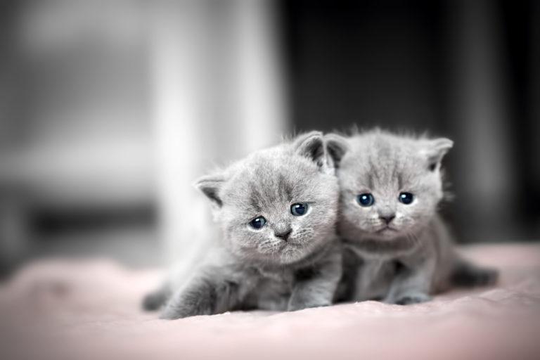 Britské krátkosrsté mačky
