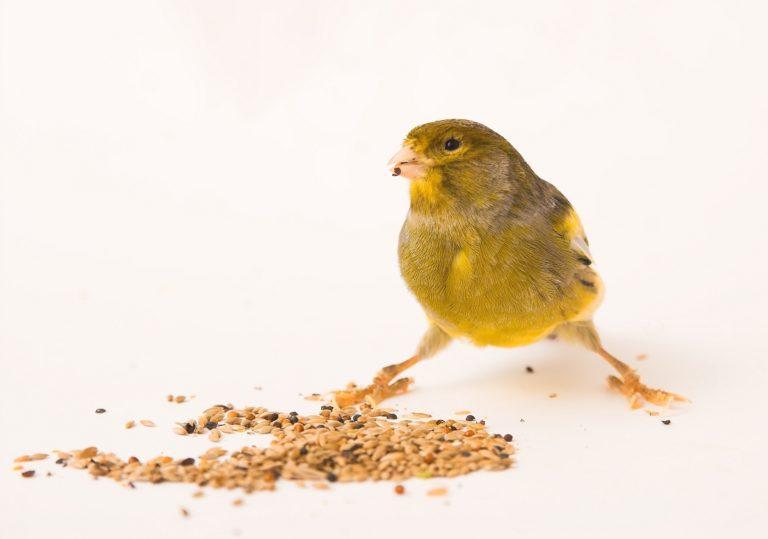 Kanárik so semenami