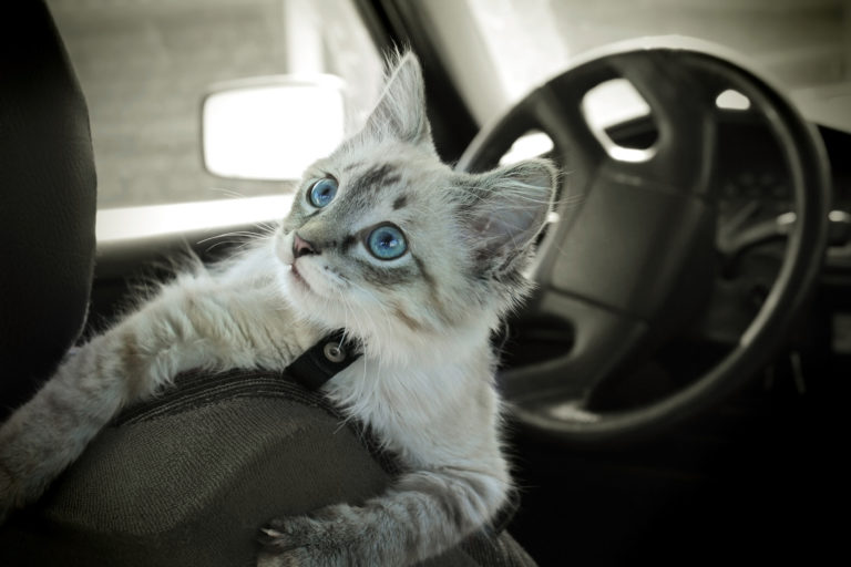 mačka v aute