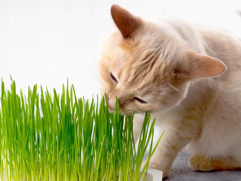 Mačacia tráva