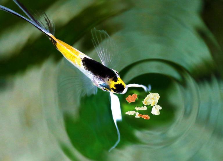 Kŕmenie ryby
