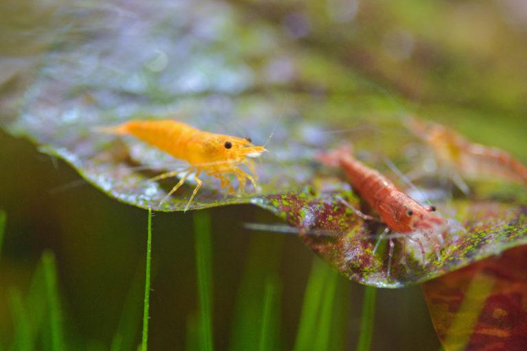 Krevety v akváriu