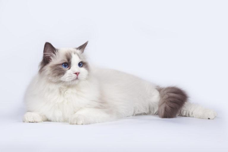 Ragdoll mačka