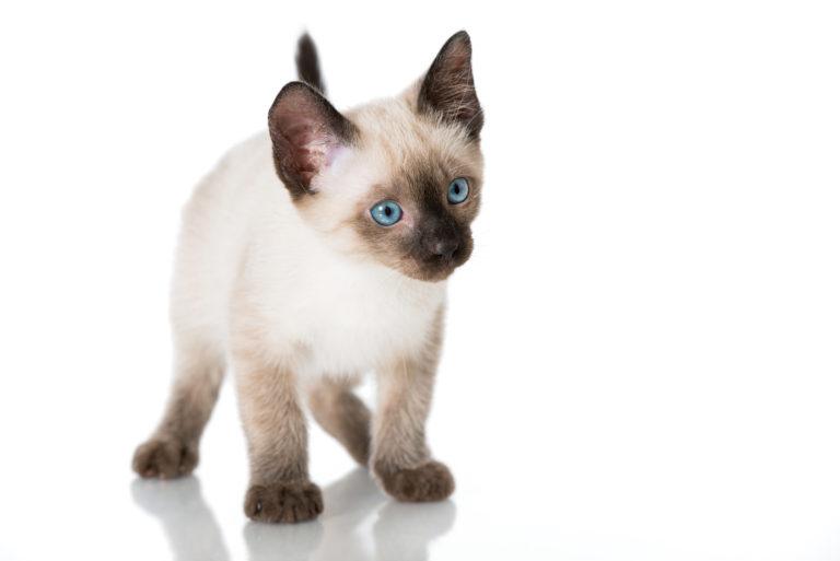 Siamské mačky