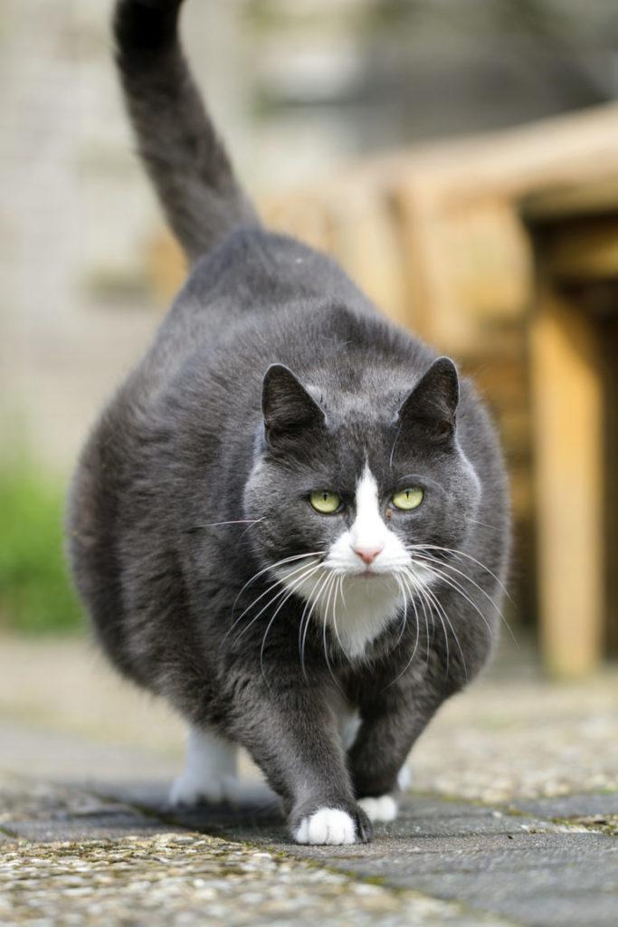 mačka s nadváhou