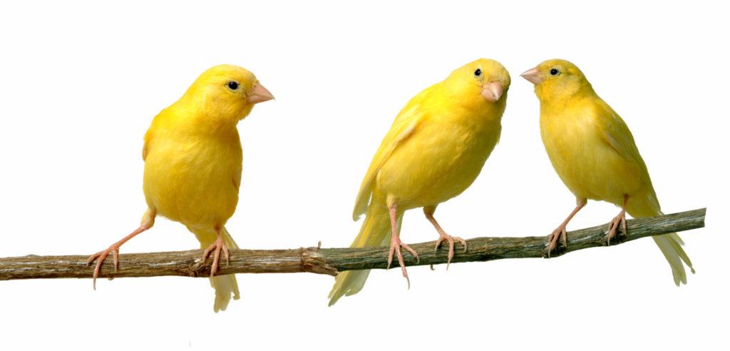 Kanáriky
