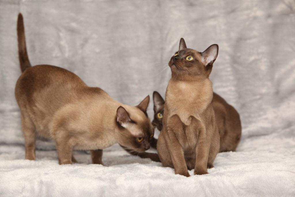 Barmská mačka