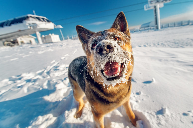 pes v zimnom období