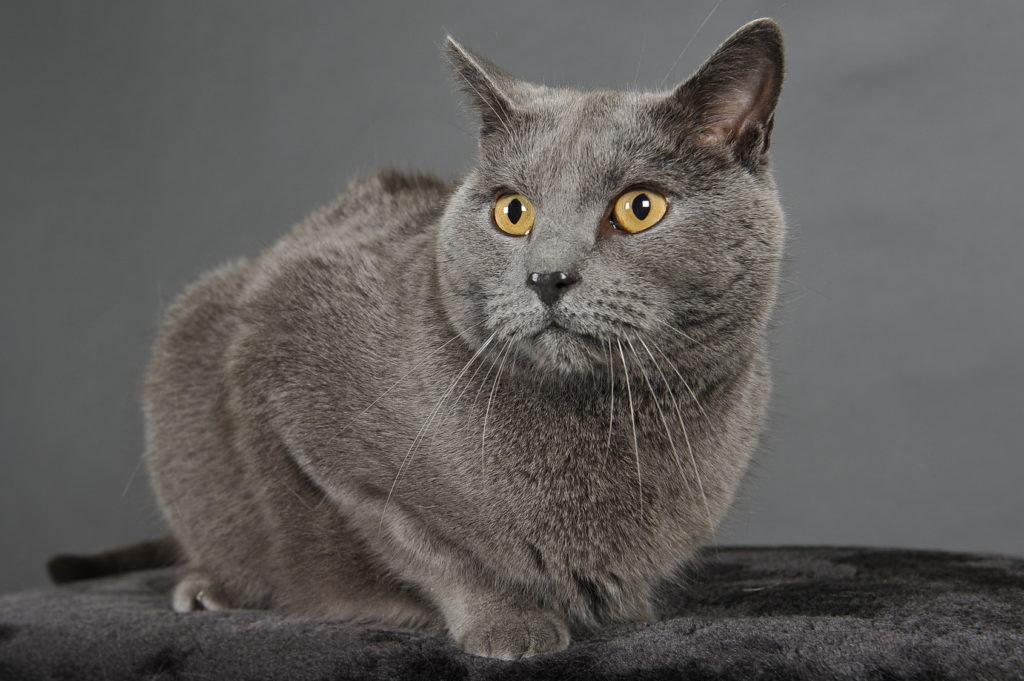Kartúzska mačka