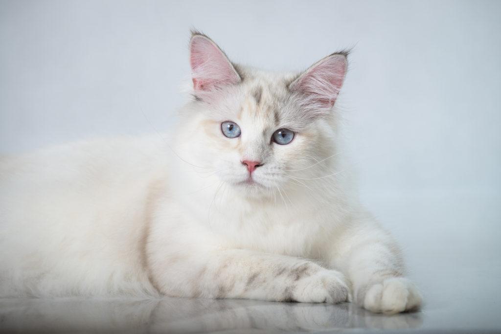 Sibírska mačka