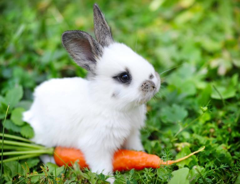 králik