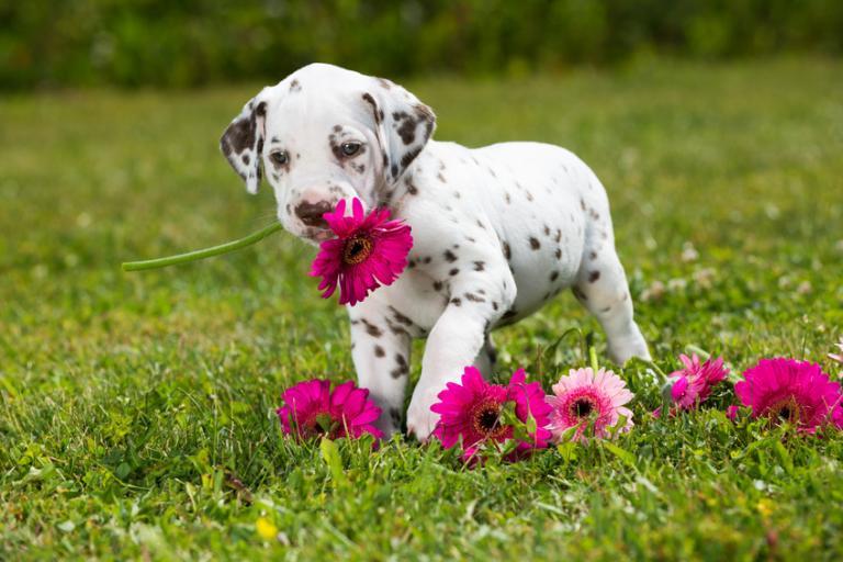 štěně dalmatina