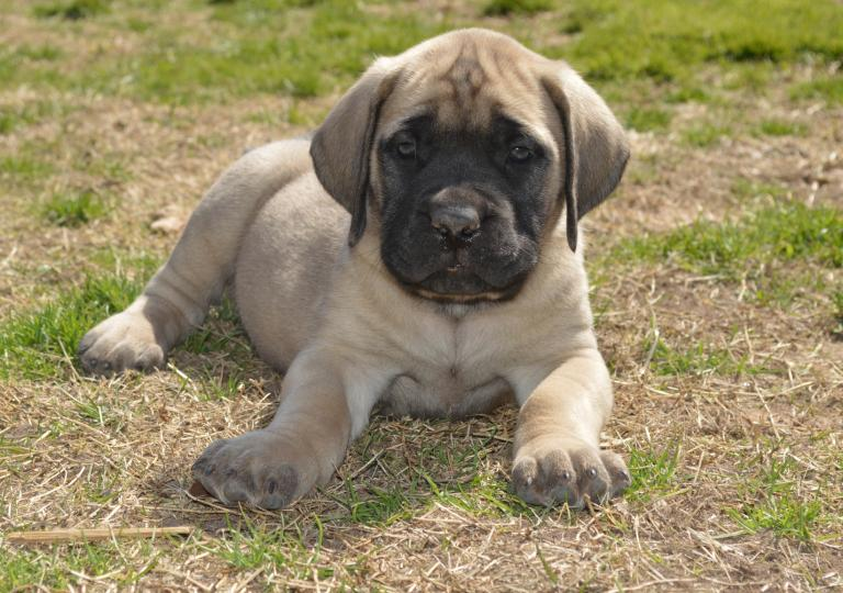 Anglický mastif šteniatko