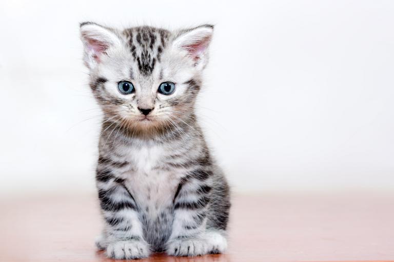 Americká krátkosrstá mačiatko