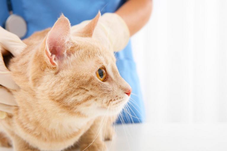 mačka u veterinara
