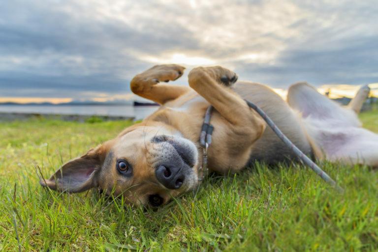 pes na tráve