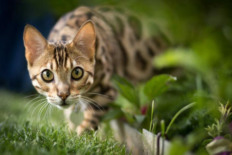 Bengálska mačka na záhrade