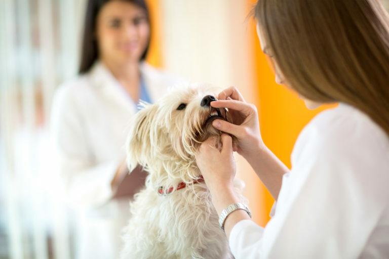 Kontrola zubov maltského psa na klinike veterinára