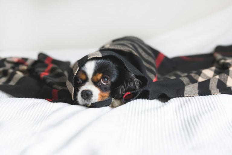 Pes v posteli pod dekou