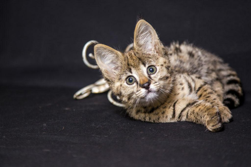 mačka Savannah
