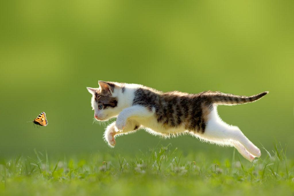 lovecká mačka
