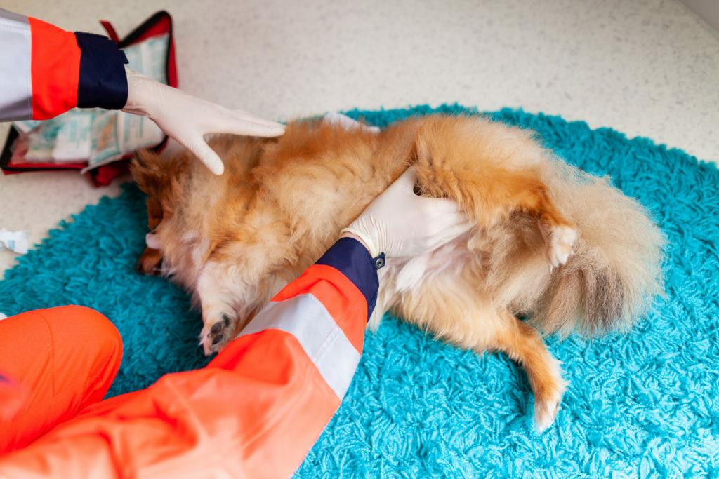 Prvá pomoc pre psa