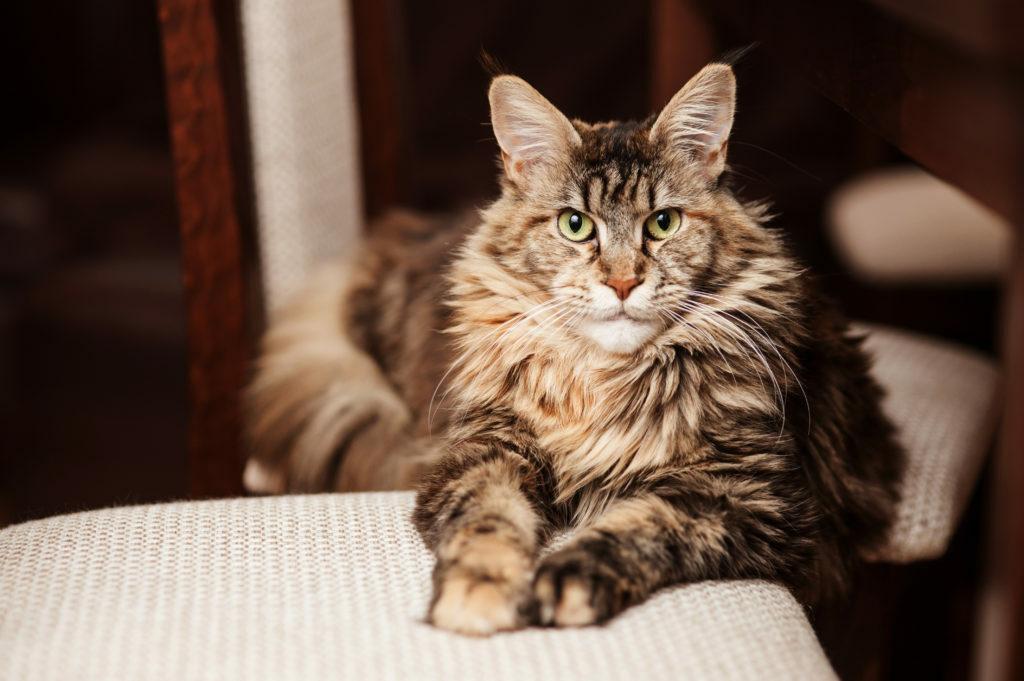 Portrét maine coon mačky