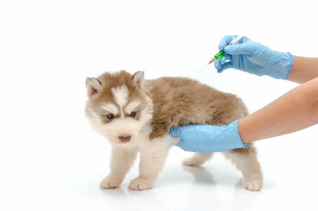 vakcinácia šteňa