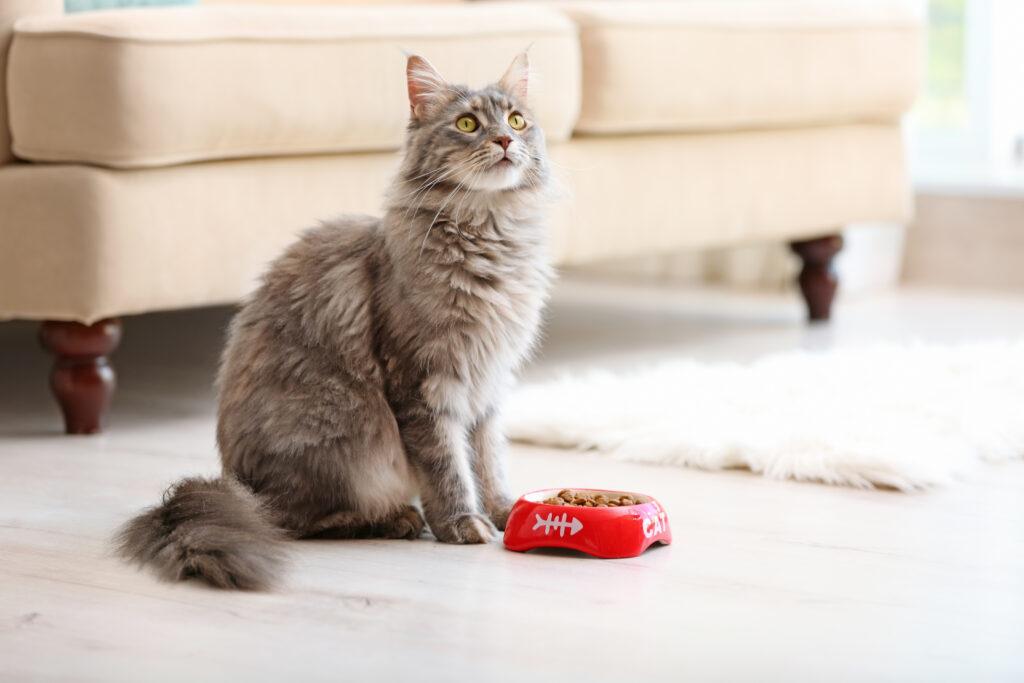 maine coon mačka pri miske s jedlom doma