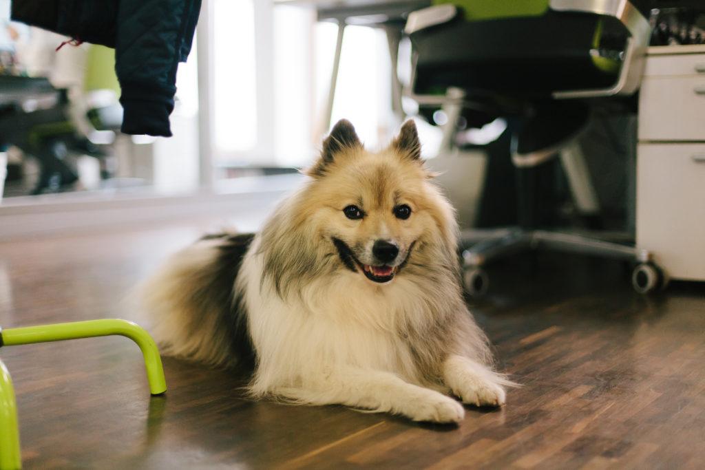 Pes v kancelárii