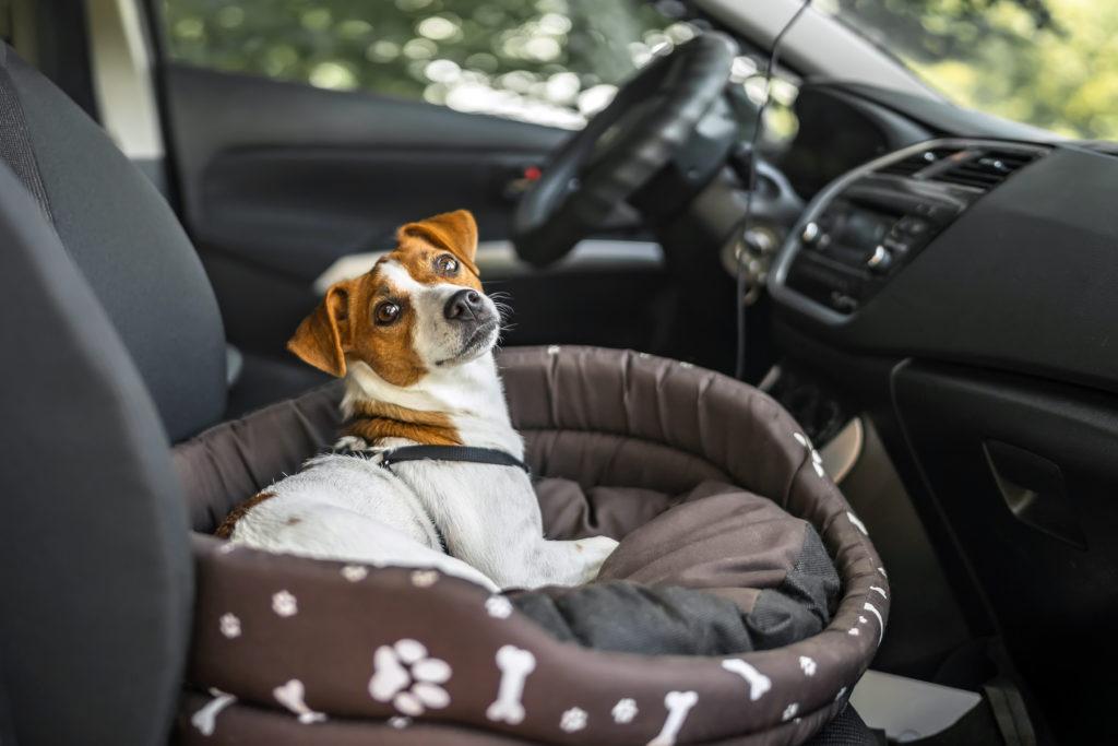 Jack Russell psie lôžko v aute