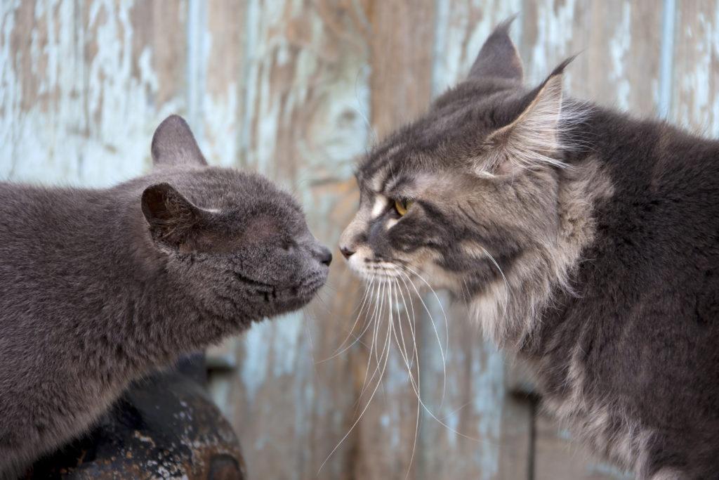 dvie mačky