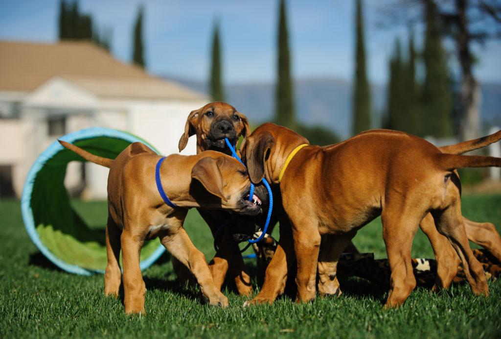 šteniatka psa rhodézskeho ridgebacka na vonkajšie hranie a ťahanie s agility vybavením v pozadí