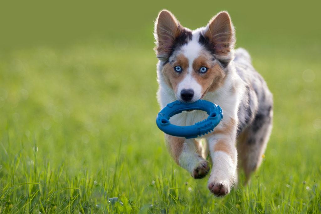 austrálsky ovčiak šteňa sa hrá v tráve