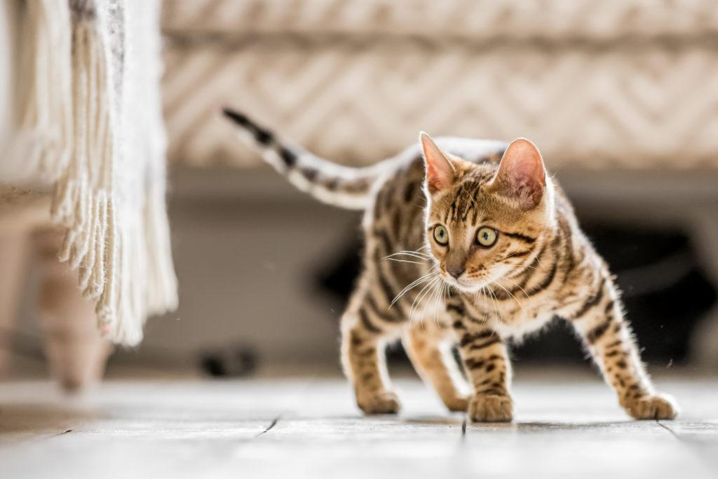 bengálske mačiatko