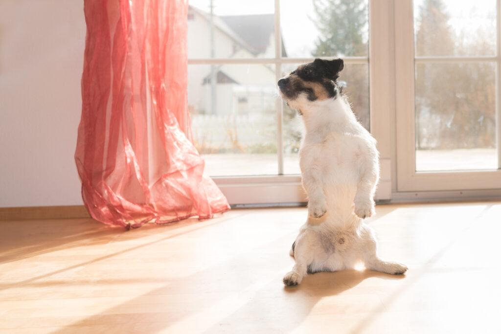 Pes robí zajačika - Jack Russell teriér