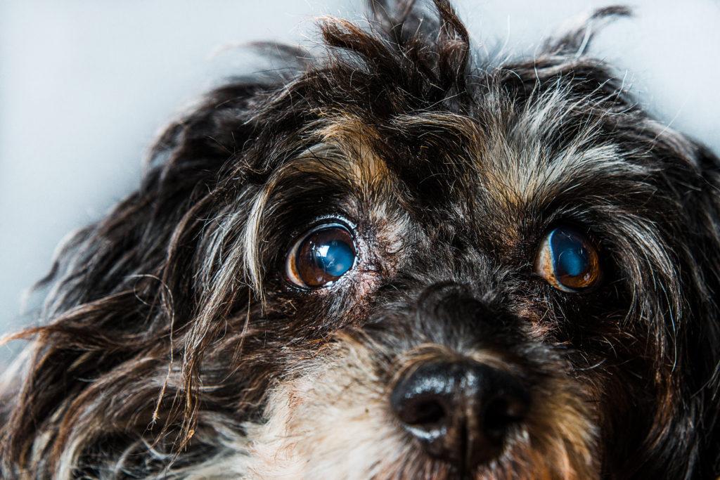 šedý zákal u psa. Čierny pes, katarakta čínskeho chocholatého. Zahmlené oči u psa, glaukóm, choroby očí, slepota, amblyopia, slepota.