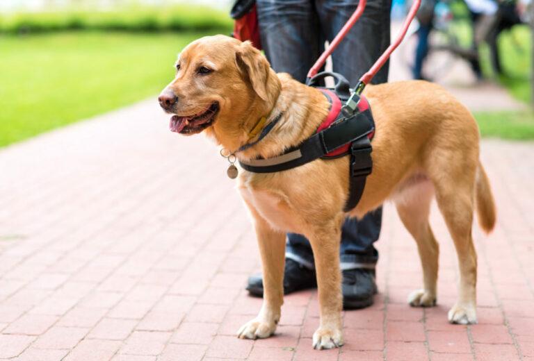 Vodiaci pes pomáha slepcovi