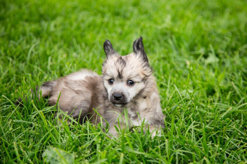 Čínsky chocholatý pes - šteňa