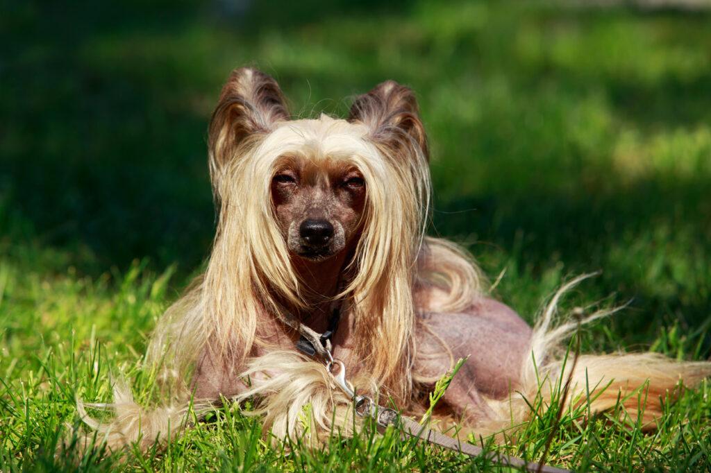 Čínsky chocholatý pes v tráve