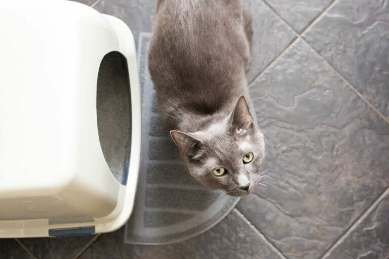 mačka pred toaletou