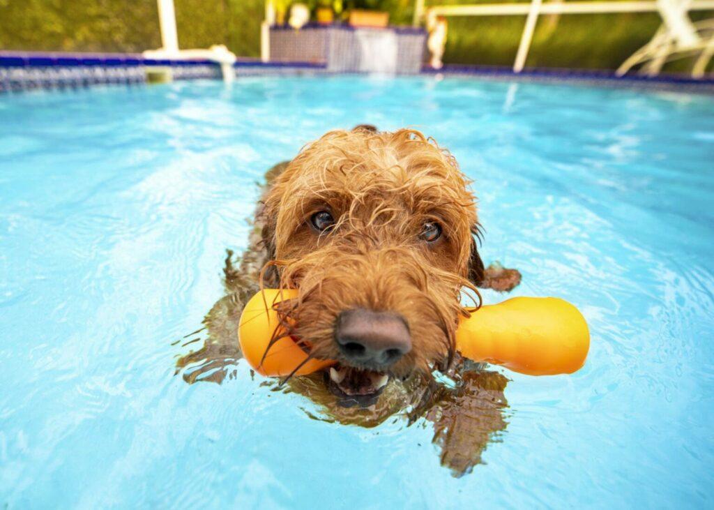 Zlatý retríver v bazéne s hračkami